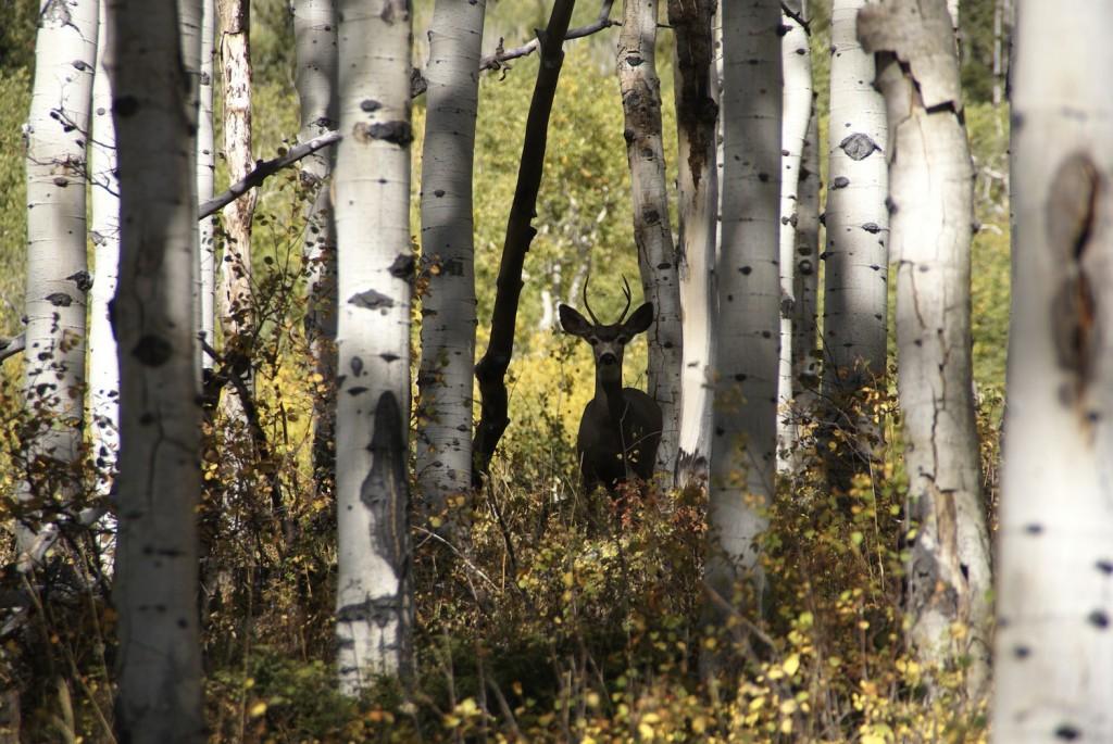 Mule Deer MSFS Intermountain Flickr